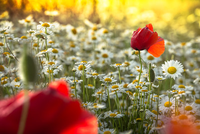 Kisses are Red | Red Beautiful Lovely Poppies in a Field of Daisies at Sunset Art Love Flowers