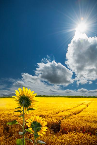 Salute to the Sun | Sunflower in Cornfield Wheat Summer Field Zonnegroet Saluting the Sun