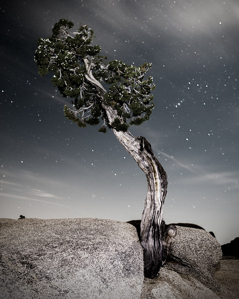Ancient Juniper Tree