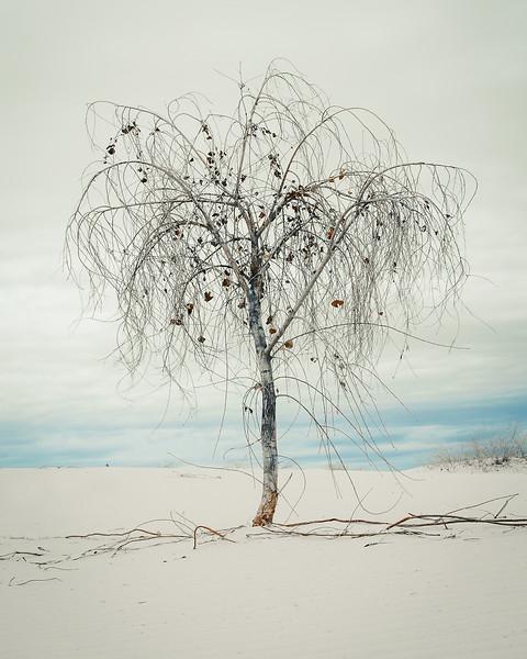 Medicine Tree (cottonwood)