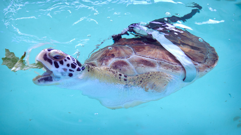 Rescued Sea Turttle at South Padre Island, Texas
