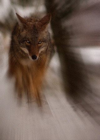 Coyote at Minnesota Zoo