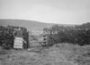 SD951802A, Man marking Ordnance Survey minor control revision point with an arrow in 1950s