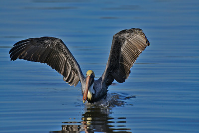 Male brown pelican