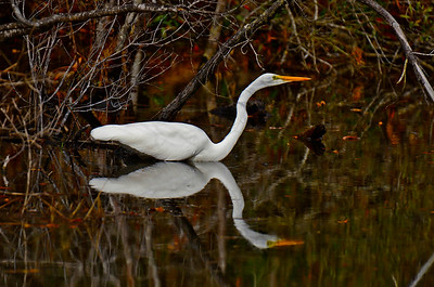 A Great Egret and it's twin.