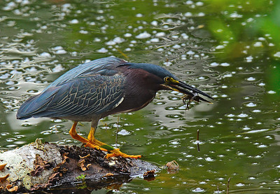 Green Heron with dinner.