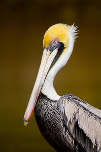 Portrait of a brown pelican.