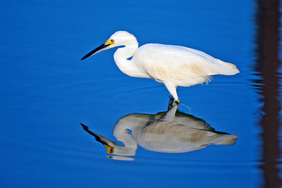 Snowt Egret looking for breakfast