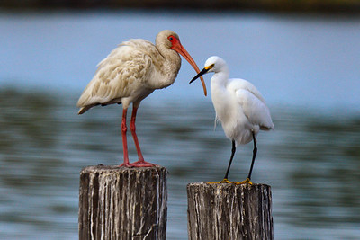 Ibis om the left and a Snowy Egret on the right