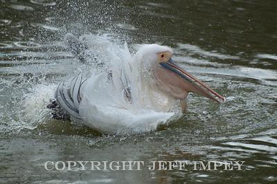 Splish splash I'm taken a bath, White Pelican
