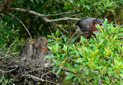 Momma Green Heron watching over her four little ones.