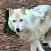 Lakota Wolf Sanctuary, NJ