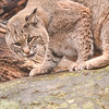 Nice Kitty - Bobcat at Lakota Wolf Sanctuary, NJ