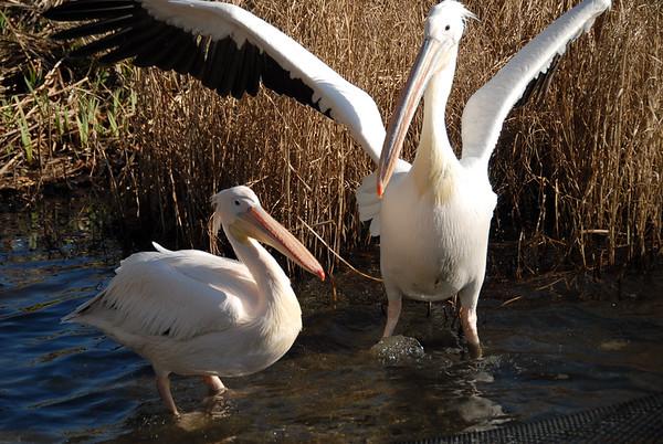 Pelicans in St. James Park
