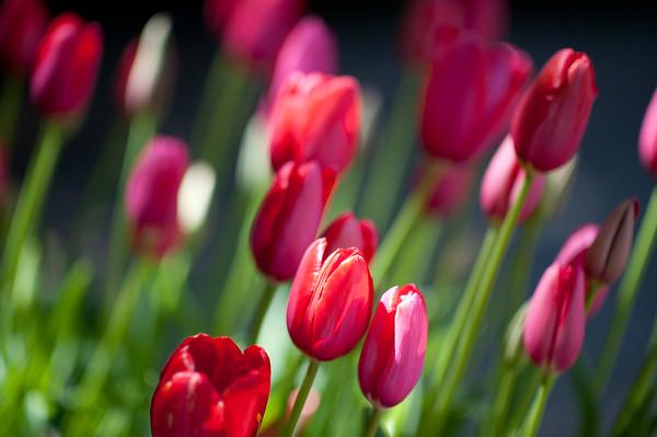 Tulips at the Filoli Gardens