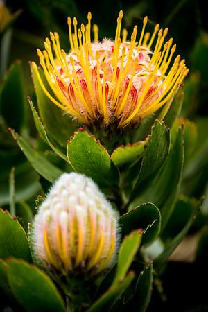 Leucospermum 'Veldfire'