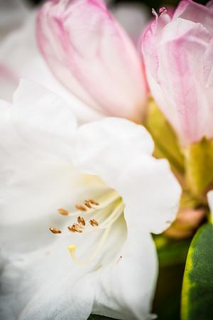 Rhododendron 'Senator Henry Jackson'