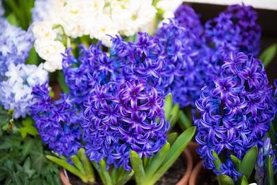 Hyacinthus 'Blue Jacket', Faloli Gardens