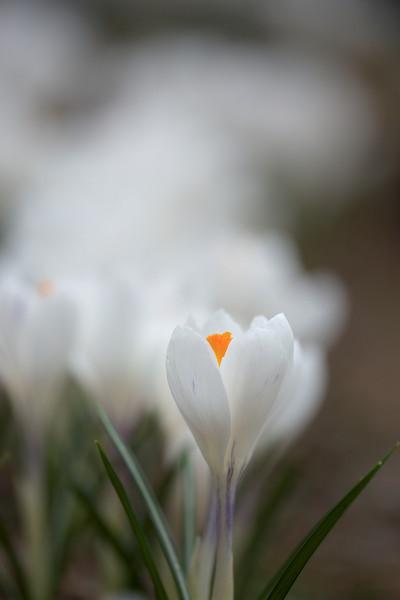 """<b><i><font size=""""3"""">Spring Crocus</font></i></b> <font size=""""1""""><i>(Crocus vernus albiflorus)</i></font> 2009"""