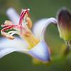 """<b><i><font size=""""3"""">White Rain Lily</font></i></b> <font size=""""1""""><i>(Amaryllidaceae; Zephyranthes candida)</i></font> 2010"""