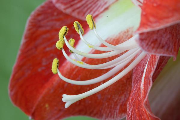 """<b><i><font size=""""3"""">Amaryllis """"Minerva""""</font></i></b> <font size=""""1""""><i>(Amaryllidaceae Hippeastrum 'Minerva')</i></font> 2009"""