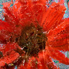 "<b><i><font size=""3"">""Gerbera Under Glass""</font></i></b> <font size=""1""> Gerbera daisy <i>(Gerbera jamesonii)</font> 2008"