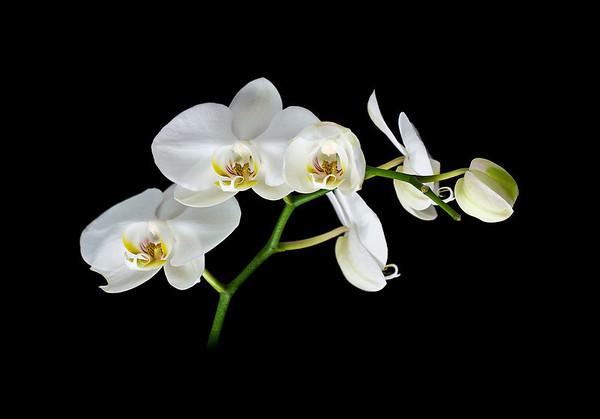 """<b><i><font size=""""3"""">White Orchid """"Moon Orchid""""</font></i></b> <font size=""""1""""><i>(Phalaenopsis amabilis)</i></font> 2010"""