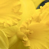 "<b><i><font size=""3"">Daffodil ""Golden Harvest""</font></i></b> <font size=""1""><i>( Amaryllidaceae Narcissus)</i></font> 2010"
