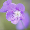 "<b><i><font size=""3"">Cranesbill, Perennial Geranium &#8220;Jolly Bee&#8221;</font></i></b> <font size=""1""><i>Family: Geraniaceae Genus: Geranium Cultivar: Jolly Bee Additional cultivar information: (PP12148) Hybridized by Van Noort; Year of Registration: 2001</i></font> 2010"