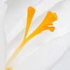 """<b><i><font size=""""3"""">Spring Crocus</font></i></b> <font size=""""1""""><i>(Crocus vernus albiflorus)</i></font> 2008"""