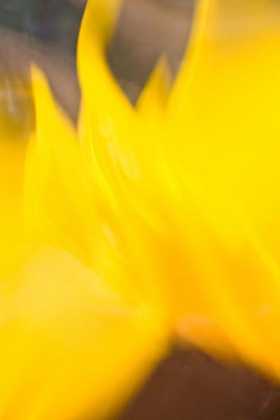 "<b><i><font size=""3"">""Sunflower Flame - II""</font></i></b> <font size=""1"">Sunflower 'Choco Sun' <i>(Helianthus annuus Choco Sun)</i></font> 2008"