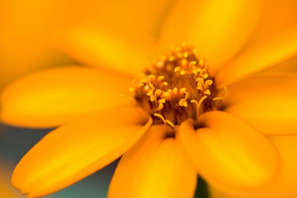 "<i>""Golden Sunshine""</i> <font size=""1"">Zinnia <i>(Zinnia linearis)</i></font> 2008"