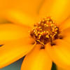"<i>""Golden Sunshine""</i> <font size=""1"">Zinnia <i>(Zinnia linearis)</i></font> 2008"