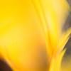 "<i><font size=""3"">""Sunflower Flame - I""</font></i> <font size=""1"">Sunflower 'Choco Sun' <i>(Helianthus annuus Choco Sun)</i></font> 2008"