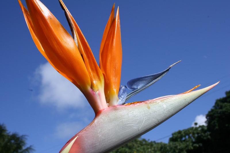 bird of paradise, in paradise. lihue, HI