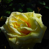 yellow rose in the backyard, just after the sprinklers went off.