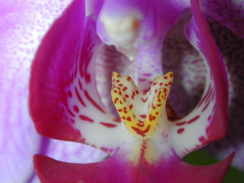 almost makes you think that you're looking at something foreign... but it's just an orchid.