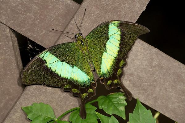 """Emerald Swallowtail <font size=""""1""""><i>papilio palinurus</i></font>"""