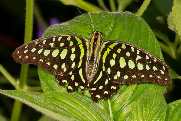 "Tailed Jay <font size=""1""><i>graphium agamemnon</i></font>"