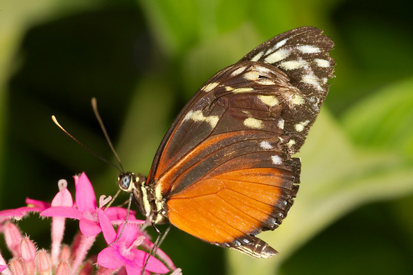 "Hecale Longwing <font size=""1""><i>heliconius hecale</i></font>"