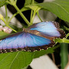 "Blue Morpho <font size=""1""><i>morpho peleides</i></font>"