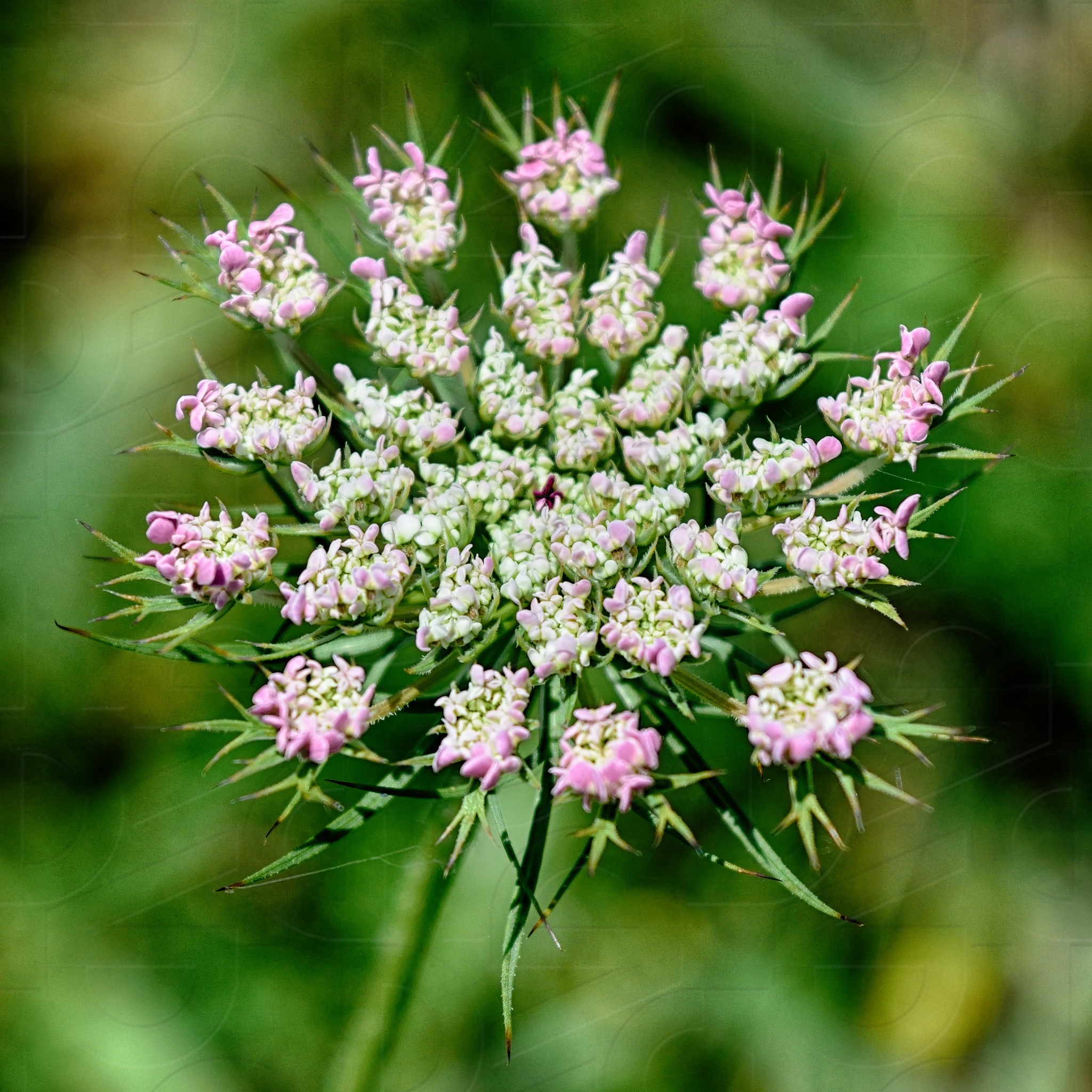 Pink Queen Anns Lace