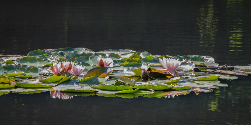 Lilies on the Cow Pond