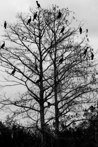 Cormorants in the Trees