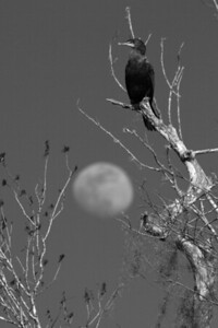 Cormorant and Moon