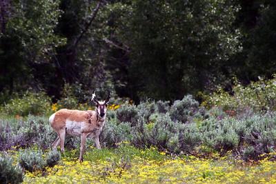 Proghorn Antelope