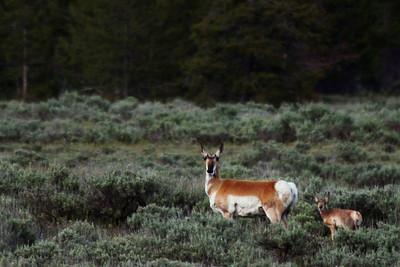 Porghorn Antelopes