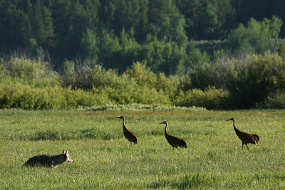 Coyote and Sandhill Cranes