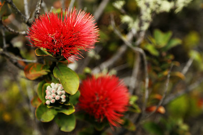 Lehua Flowers of the ʻŌhiʻa Tree