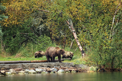 Brown Bear Sow & Cubs